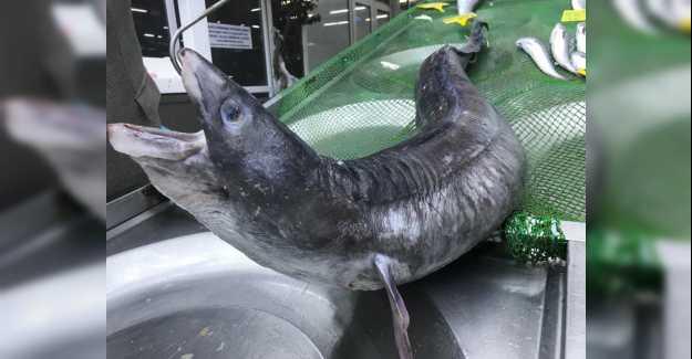 Marmara'dan 3 Metre Yılan Balığı Çıktı...