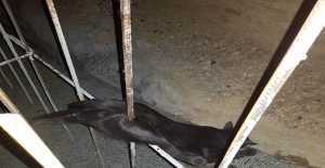 Kedi İnşaat Demirine Saplandı, Bakın Ne Oldu?